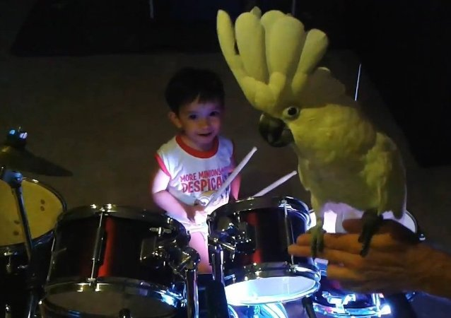 Singing Cockatoo bird jams with baby drummer