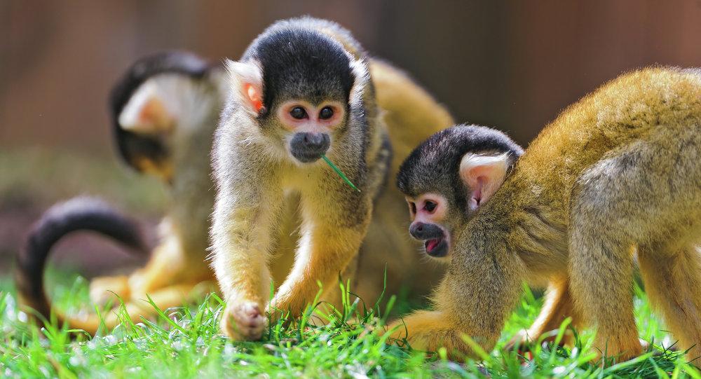 Squirrel monkeys.