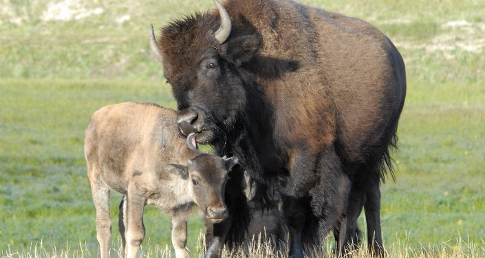 Anthrax to Blame? Mysterious Bison Deaths Under Investigation in Montana