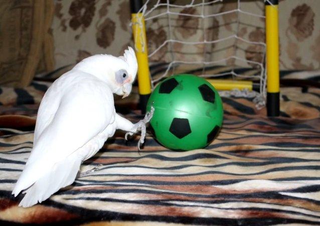 Soccer Cockatoo
