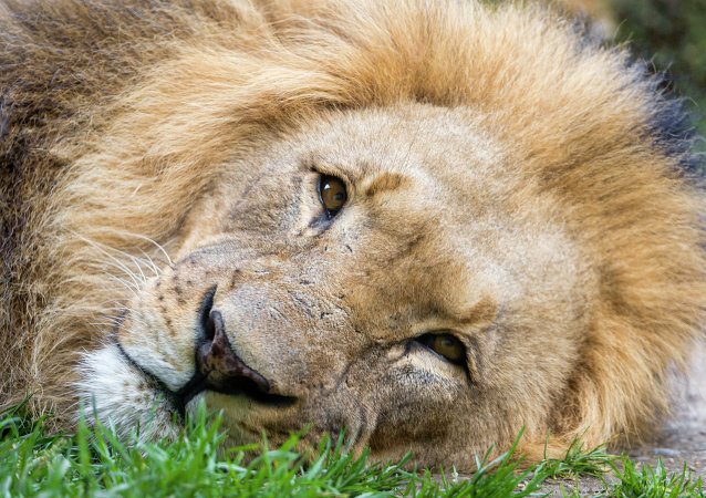 One of the most famous and beloved lion in Africa has been brutally killed at the Zimbabween national park by allegedly a Spaniard for $50,000.