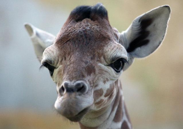 Reticulate Giraffe