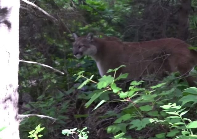 Mountain Lion Stand Off