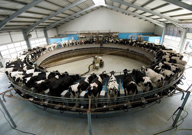 Dairy cows are milked on a rotating milking carrousel at the Heideland dairy farm in Kemberg, some 100km south of Berlin, on March 23, 2015