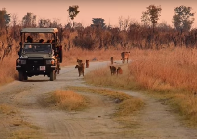 Cecil the Lion's Cubs are Doing Okay in Zimbabwe