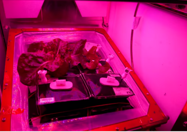 Red romaine lettuce grown onboard the International Space Station.