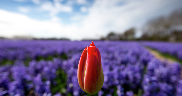 A lone tulip sprouts up in a field of blossoming hyacinths near Lisse, Netherlands, Thursday, April 16, 2015