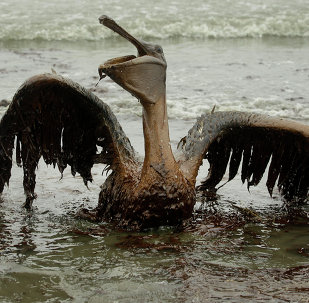 A brown pelican covered in oil sits on the beach at East Grand Terre Island along the Louisiana coast