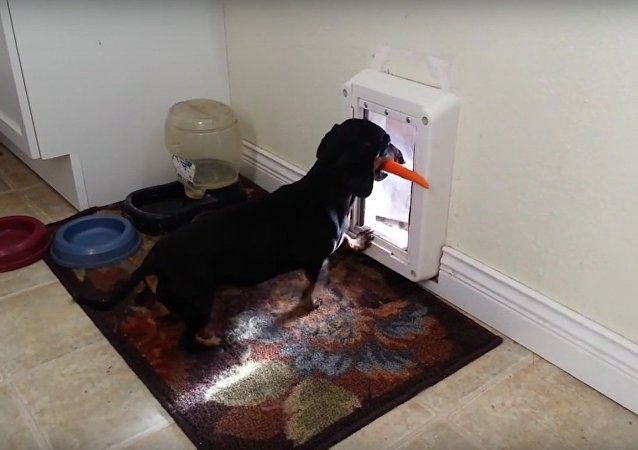 Dachshund's Carrot Won't Fit Through Door