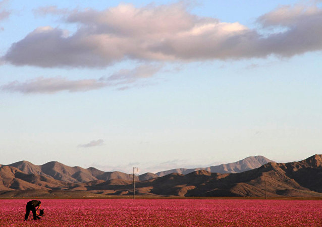 Flowers bloom at the Huasco region on the Atacama desert, some 600 km north of Santiago