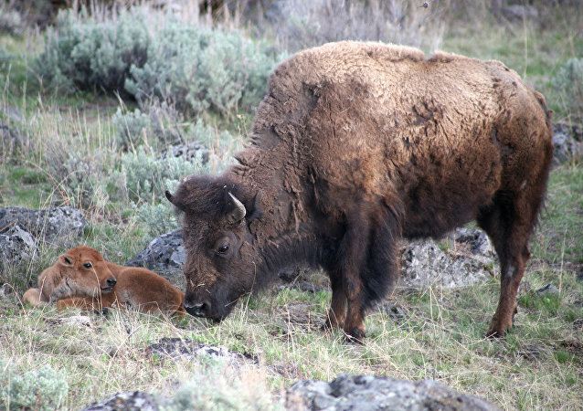 Bison with new calf.