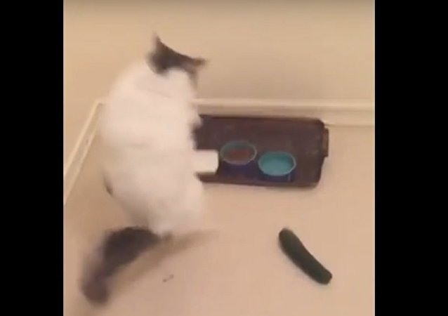 Unsuspecting cat freaked out by cucumber