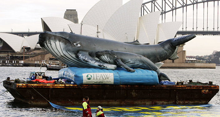 An inflatable pair of whales are floated in Farm Cove in Sydney Harbour across from the Sydney Opera House (file photo)