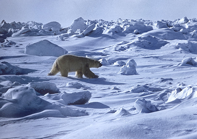 A polar bear. Wrangel Island State Nature Reserve