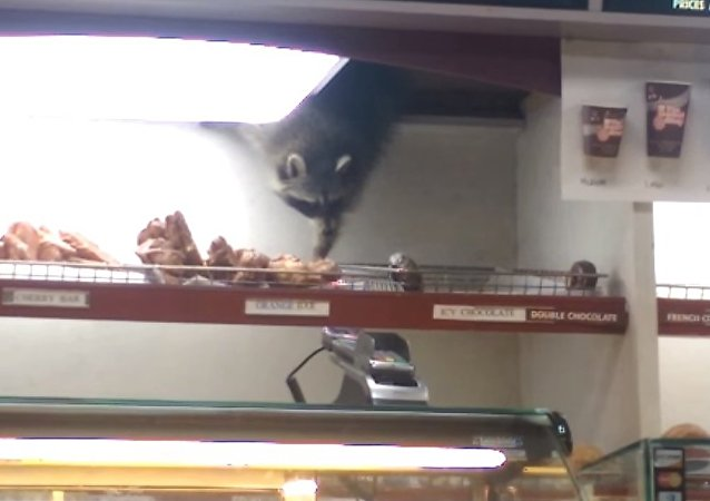 Raccoon Steals Donut