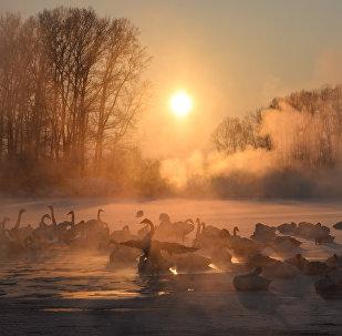 Swans on unfrozen Lake Svetloe in the state nature reserve Lebediny, Altai Territory