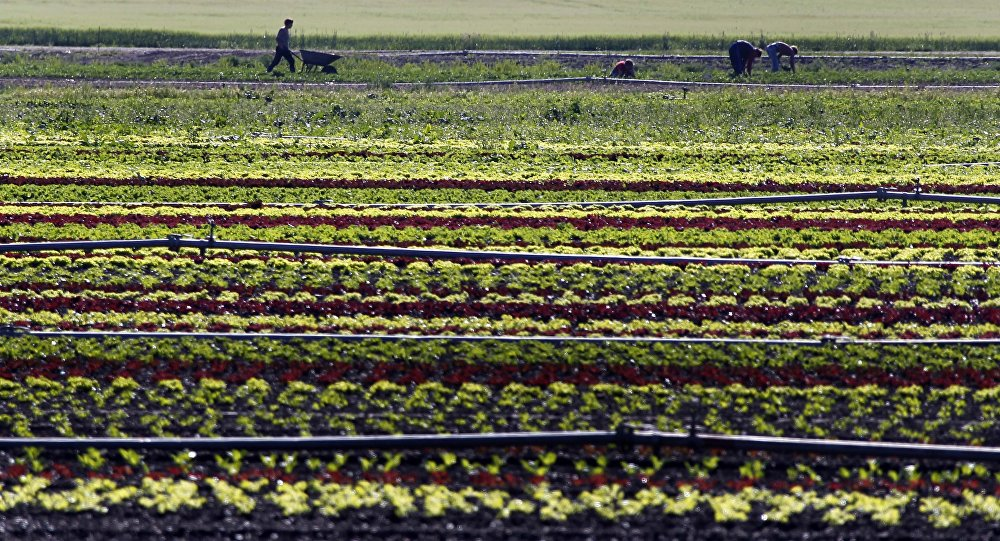 Vegetable farmers work in a field of salads in Feldmoching near Munich, southern Germany. (File)