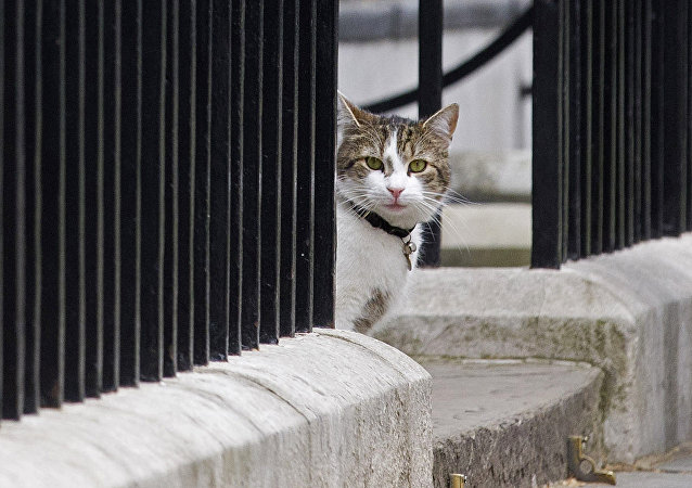 Larry, cat of British Prime Minister David Cameron, sits on the step outside 10 Downing Street in London on May 9, 2015.