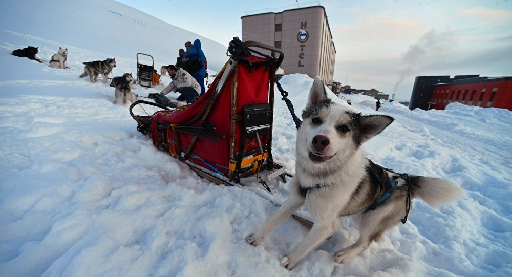 Husky sled dogs in the northernmost Russian village of Barentsburg on the Spitsbergen (Svalbard) archipelago
