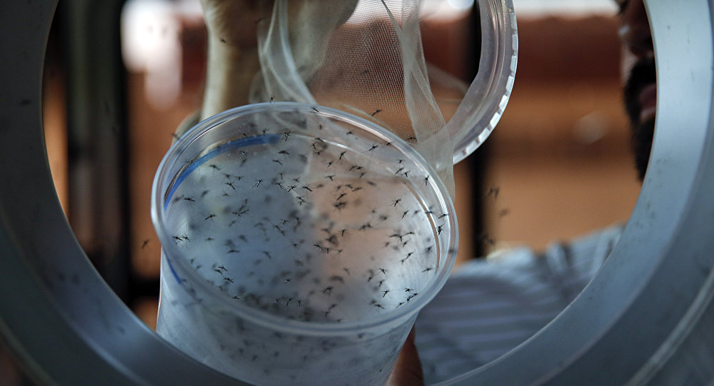 Guilherme Trivellato, from the British biotec company Oxitec, releases genetically modified Aedes aegypti mosquitoes, a vector for transmitting the Zika virus, in Piracicaba, Brazil, as part of an effort to kill the local Aedes population. (File)