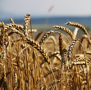 Grain harvesting in Simferopol District, Crimea