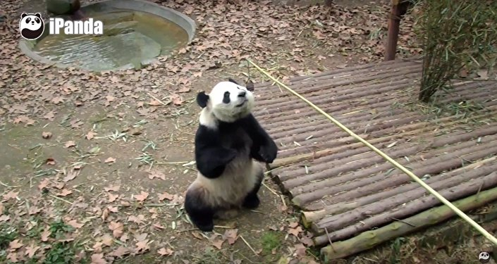 Panda Bear Stands On Its Hind Legs For Snack