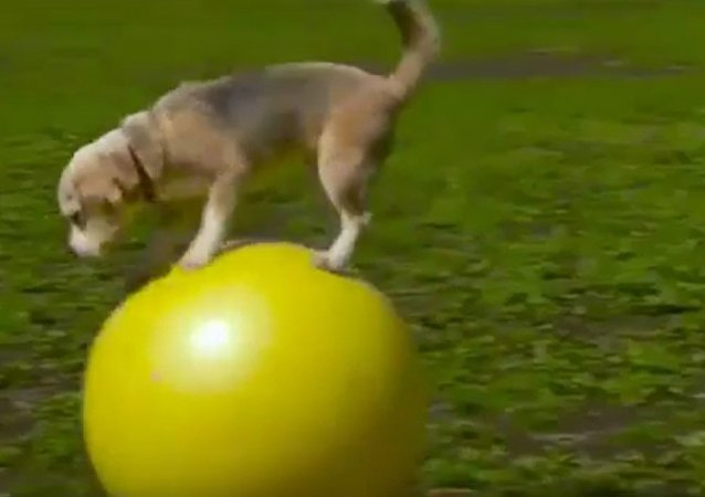Dog breaks record for fastest time travelling on a ball.