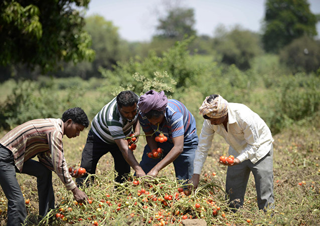 Indian farmers Kalidas Devipujak(3R),Manubhai Talpada(2R)and Navghanbhai Talpada(R)are joined by a colleague as they pluck ripe tomatos in a field in the village of Alindra, Nadiad Taluka District some 55kms from Ahmedabad