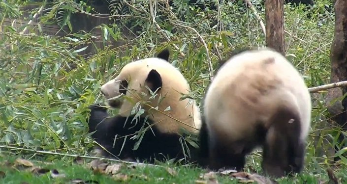 Clumsy Panda Escapes Quickly After Failing To Attack