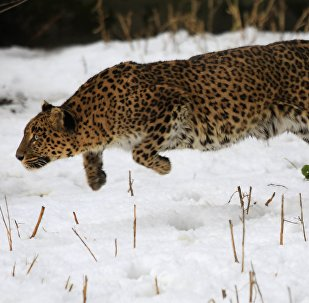 A female leopard moves inside a snow covered enclosure at Dachigam Wildlife Sanctuary, outskirts of Srinagar, India. (File)