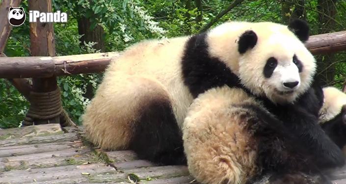 Who wants a panda wake-up call?
