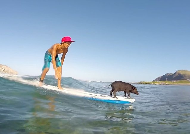 Son of Kama - The Surfing Piglet