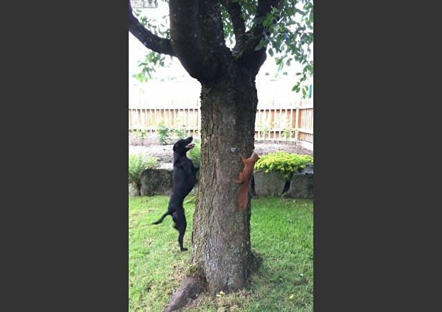 Squirrel Taunts Dog