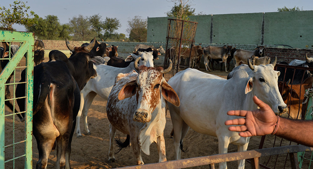 In this photograph taken on November 5, 2015, cows gather at a cow shelter owned by Babulal Jangir, a rustic self-styled leader of cow raiders, and Gau Raksha Dal (Cow Protection Squad) in Taranagar in the desert state of Rajasthan