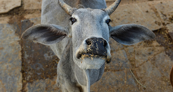 In this photograph taken on November 5, 2015, a cow looks on at a cow shelter owned by Babulal Jangir, a rustic self-styled leader of cow raiders, and Gau Raksha Dal (Cow Protection Squad) in Taranagar in the desert state of Rajasthan