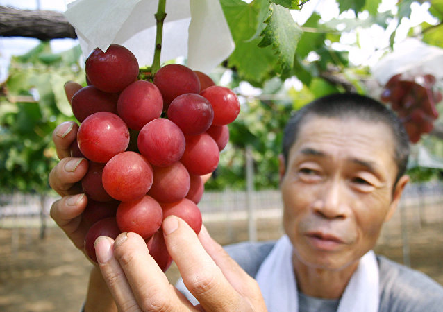 Japanese farmer Tsutomu Takemori displays a cluster of recently-developed Ruby Roman grapes at his vineyard in Kahoku city in Ishikawa prefecture, northern Japan