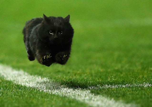 A black cat flies down a rugby league field in Australia