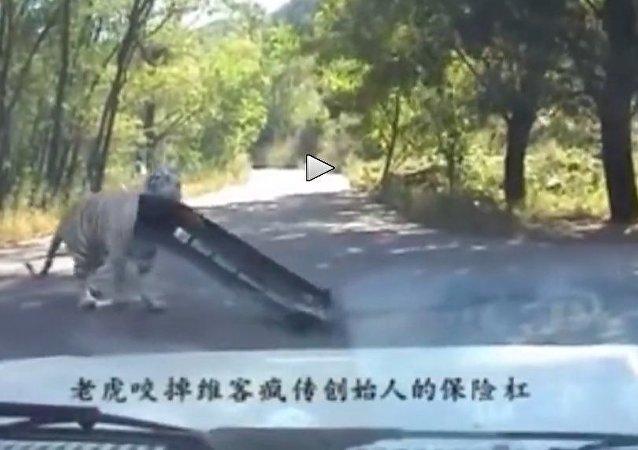 Tiger tears off car bumper