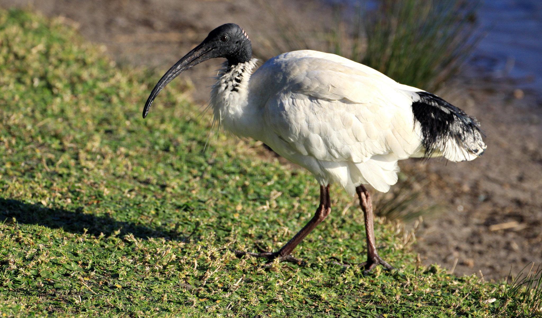 Ibis (Threskiornis aethiopicus)