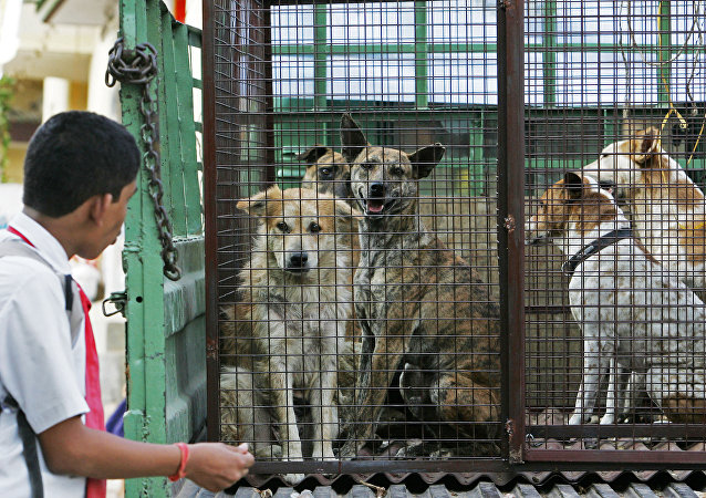 An Indian school student looks at stray dogs inside a cage on the back of a truck