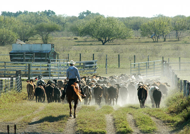 King Ranch cowboy, Lyn Lamon, is shown moving cattle out the feeding pens into a pasture on the King Ranch, near Kingsville, Texas, Dec. 10, 2004
