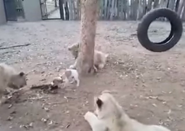 Cute puppy vs 3 lions   Who is the beast?