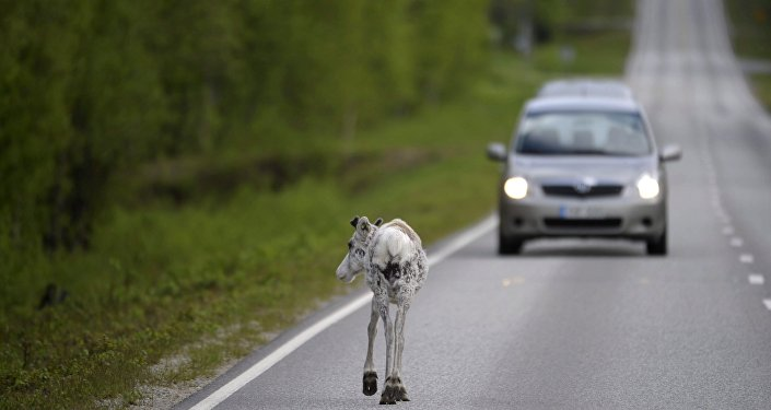 Reindeer walks on the road at Ranua, Finland (File)