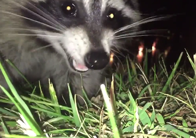 RACCOON PICKS UP PHONE AND RUNS OFF WITH IT!!