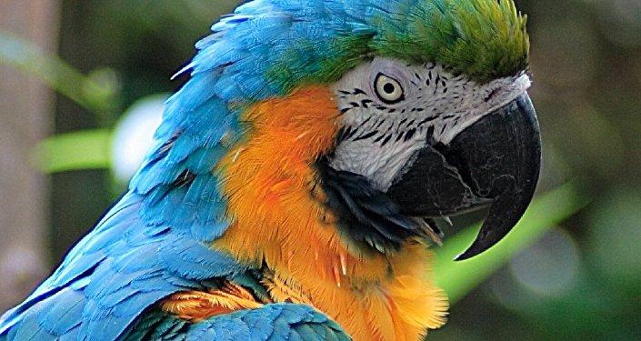 middleeast kuwaiti affair maid parrot