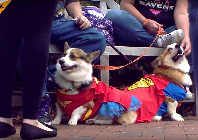 Corgi Halloween Parade Held in Annapolis
