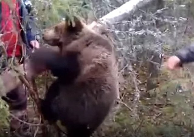 Bear Cub Rescued From A Trap By Hunters