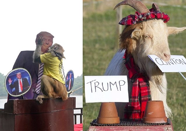 US Polls: 'Psychic' Scottish Goat Bets Clinton, Chinese Monkey Bets Trump