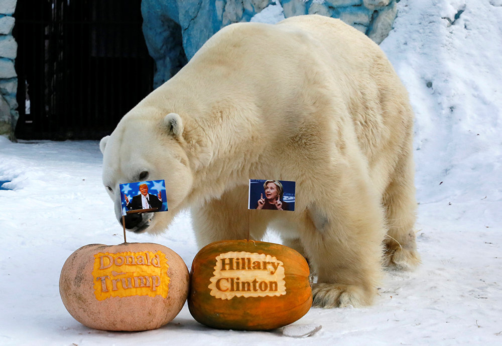 Felix, a male polar bear, stands near pumpkins with portraits of U.S. presidential nominees Hillary Clinton and Donald Trump as it predicts the result of U.S. presidential election at the Royev Ruchey zoo in Krasnoyarsk, Siberia, Russia, November 7, 2016