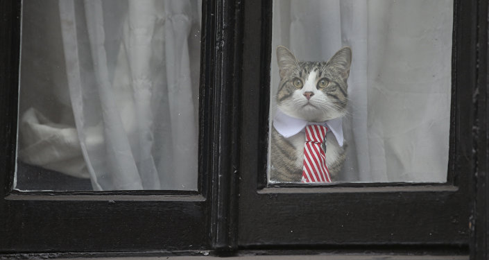 A cat named 'James' wearing a collar and tie looks out of the window of the Ecuadorian Embassy in London on November 14, 2016 where WikiLeaks founder Julian Assange was being questioned over a rape allegation against him.